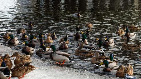 Flock wild ducks in the winter pond