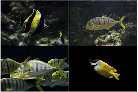 chaetodontidae: Photo set: Marine tropical fish. Butterflyfish Chaetodon miliaris, Golden Trevally, flock of Golden Trevally, Foxface rabbitfish Siganus vulpinus on a black background.