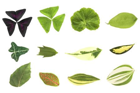 dipladenia: Pianta lascia isolato su uno sfondo bianco tropaeoloides sfondo Oxalis, Oxalis triangularis (regnellii), pelargonium (geranio), Dipladenia, edera (Hedera), Schlumbergera, ficus benjamina, aucuba, Cissus rhombifolia, Fittonia, tradescantia zebrina pendula. Archivio Fotografico