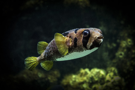 deepness: Spot-fin porcupinefish. Sea fish-urchin. Fish-hedgehog in the quiescent state.