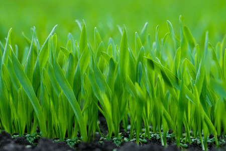 grassplot: Background of the green young grass closeup Stock Photo