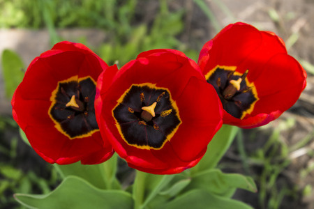 floristics: Three ripe red tulip closeup. Spring large flower buds. Photos with limited depth of field.