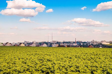 suburbian: Plantation of young green sunflowers and city skyline in the background. Belgorod city, Russia.
