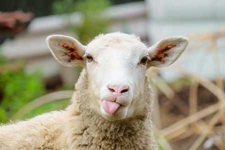 Funny sheep. Portrait of sheep showing tongue. 免版税图像