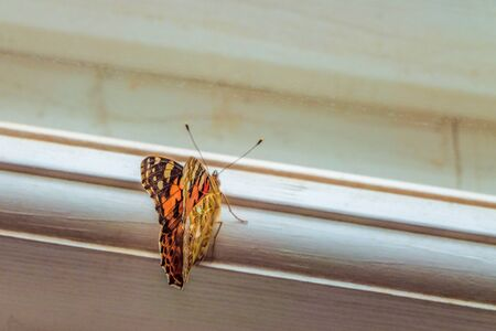 wants: Butterfly on the window frame wants to freedom. Painted Lady Butterfly. Limited depth of field. Stock Photo