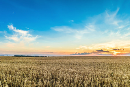 Sunset with blue sky over a field of ripe cereals. Agriculture background.