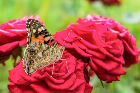 nymphalidae: Painted Lady  butterfly on a red rose. Colorful summer background.