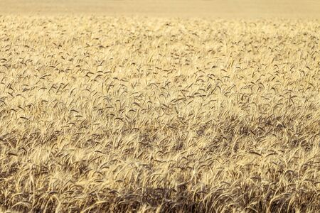 agro: Ripe rye grains. Agricultural background with limited depth of field (blurred horizontal edges).