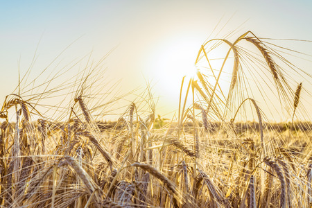 Agricultural background with ripe spikelets of rye in the golden rays of the low sun backlight. Beautiful nature sunset. Rural scene with limited depth of field.