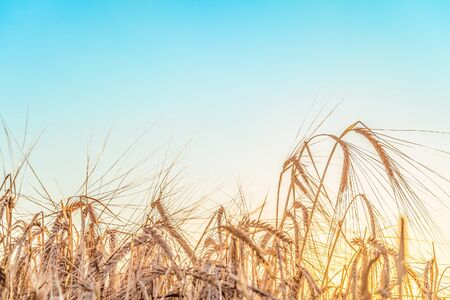 Agricultural background with ripe rye spikelets on a bright sunny summer day. Beautiful nature view. Countryside scene with limited depth of field.