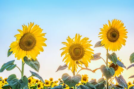 creamery: Three blossoming sunflower in the light of low sun and a cloudless bright blue sky.