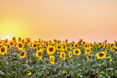 creamery: Plantation of blooming sunflowers at sunset. Agricultural background with low sun and the sky in orange-pink tone. Stock Photo