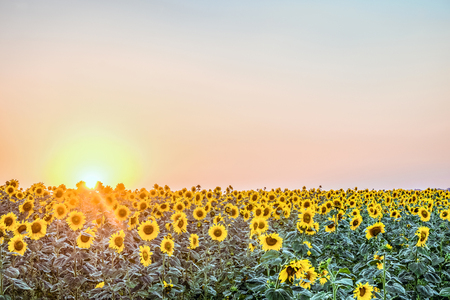 creamery: Sunflower field in the rays of low evening sun. Agricultural natural background. Stock Photo