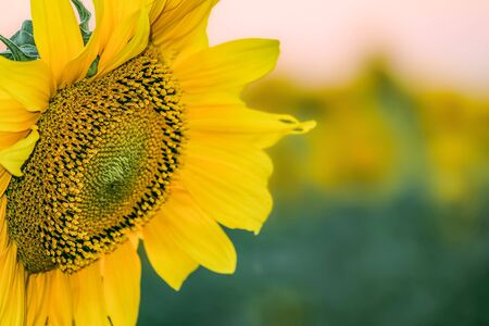 creamery: Beautiful flower of a sunflower closeup on a blurred plant background. Agricultural natural background with limited depth of field.