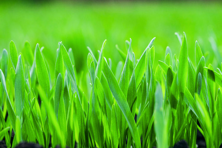 Young green grass background. Limited depth of field.