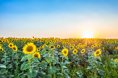 creamery: Evening a field of blooming sunflowers in the rays of the low sun backlight. Agricultural background with beautiful nature.