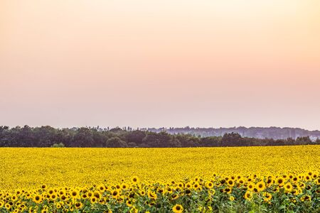 Bright yellow field of sunflowers in the diffused light of the evening dusk. Colorful nature. Focus in the background.