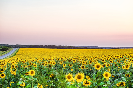 Yellow field of blooming sunflowers in the diffused light of the evening dusk. Agricultural plantation with country road. Imagens