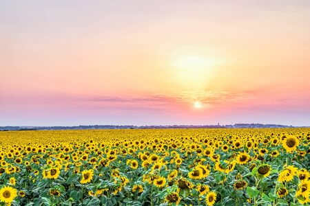 Evening sunset over a field of blooming sunflowers. Rural landscape.