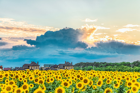 Suburban landscape. Evening sunset and dark rain clouds over a blooming sunflower field.