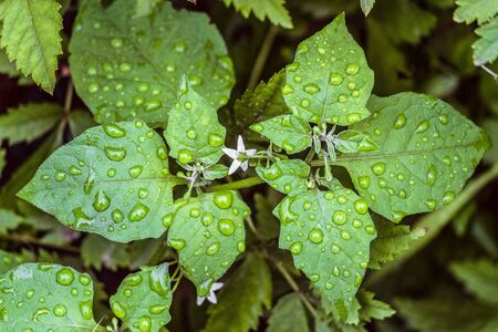Black nightshade (Solanum nigrum). Natural background with water drops on green leaves. Stock Photo - 79031670