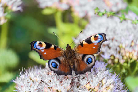 nymphalidae: Beautiful Peacock butterfly on a flowers. Colorful natural background with limited depth of field.