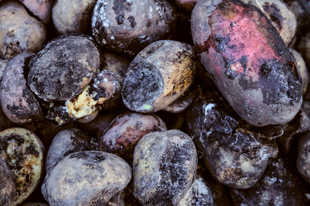 Spoiled rotten potato. Crop failure, bad harvest concept. Agricultural background.
