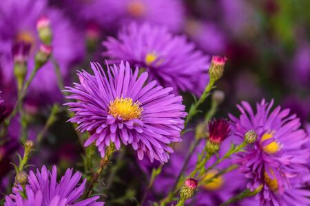 Colorful violet flowers aster alpinus close-up. Beautiful natural plant with limited depth of field. Stock Photo
