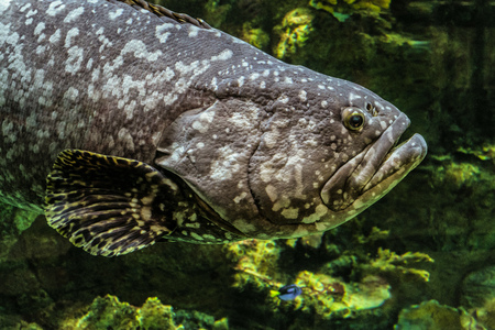 deepness: Giant grouper fish face.Underwater marine wildlife. Epinephelus itajara.