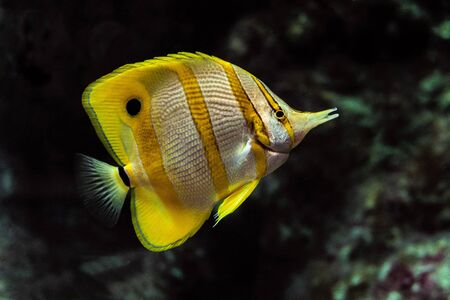 deepness: Copperband butterflyfish (Chelmon rostratus). Underwater marine fish. Stock Photo