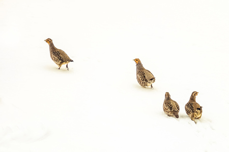 Flock of wild partridges walks on white snow of the winter steppe. Wildlife birds. Natural background with copy space. Stock Photo