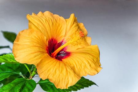 Orange Hibiscus flower close-up. Chinese rose. Imagens