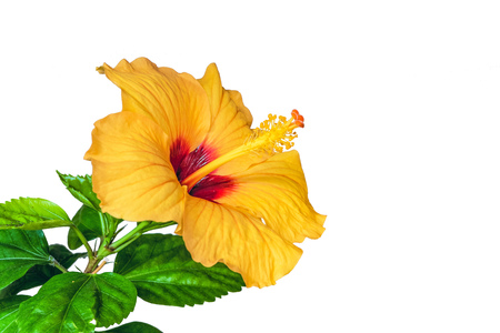 Orange Hibiscus flower isolated on white background. Chinese rose.