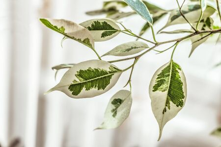 Ficus benjamin leafs on a branch.  Plants background with limited depth of field.
