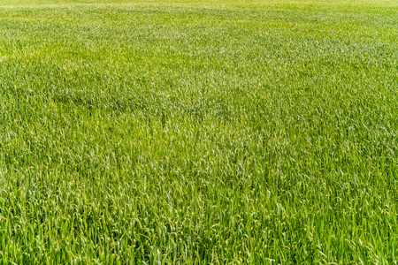 Natural background of young rye. Fragment of green field. Stock Photo