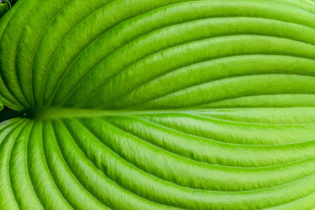 Hosta leaf close-up. Hosta - an ornamental plant for landscaping park and garden design. Veins of the leaf. Stock Photo