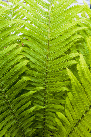 Ostrich Fern green leaves. Natural greenery plants for ornamental and landscaping park and garden design.