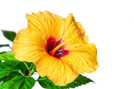 Orange Hibiscus flower close-up isolated on white background