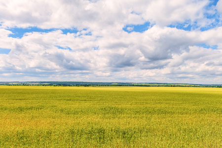 Daytime summer landscape with a green young wheat field under a blue cloudy sky. Natural background. Belgorod region, Russia.