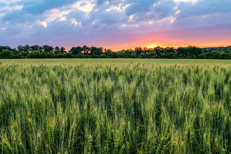 Green ripening ears of wheat field under cloudy sky at sunset. Agricultural natural plantation background with limited depth of field. Stock Photo