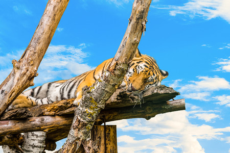 Amur tiger sleeping on wooden branches on a blue cloudy sky background. Panthera tigris altaica.