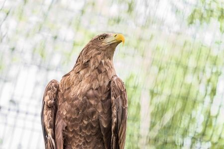 Portrait  of white-tailed eagle. Orlan whitetail. Stock Photo