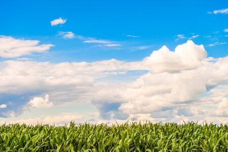 Green corn flat field at sunny summer day. Corn foliage under a bright cloudy sky. Agricultural landscape.