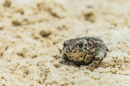Portrait of a green toad (Bufotes viridis) sitting in the sand. Selective focus.