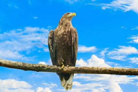 White-tailed eagle sitting on a wooden branch on a blue cloudy sky background