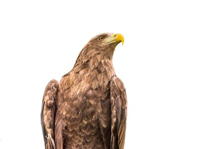 White-tailed eagle isolated on a white background Stock Photo