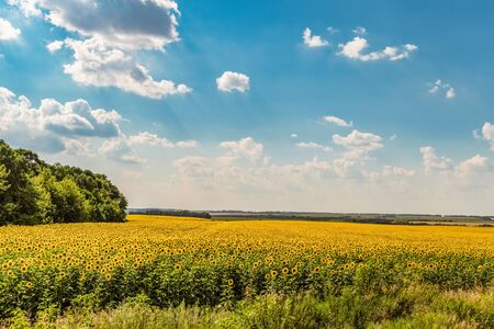 Blooming sunflowers field on a bright cloudy summer day. Agricultural plain landscape. Belgorod region, Russia. Stock Photo