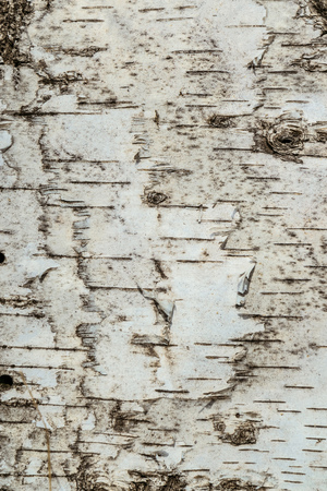 Natural texture of birch bark surface close-up