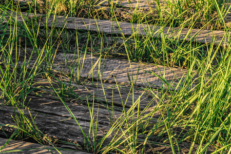 Old abandoned wooden path in the grass thickets. Green blades grass on background of the wooden boards.