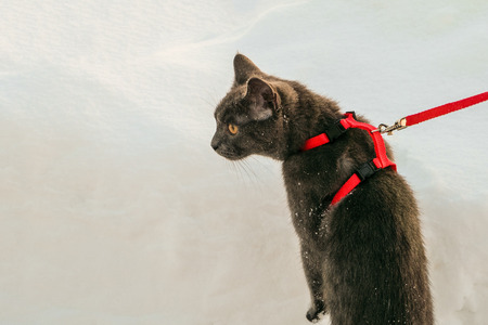 Young British blue shorthair cat in harness on a winter walk. Gray cat on the leash among the snow. 版權商用圖片